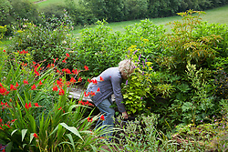 Carol Klein placing pot of Patrinia scabiosifolia and Agastache foeniculum 'Golden Jubilee' in the garden