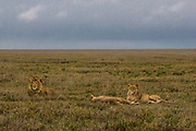 Male lion, kickass defender of a pride, Serengeti National Park, Tanzania.