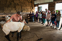 Jeff Keyser guides a Suffolk Sheep over to Mrs. Phillip's 4th graders from Gilmanton Elementary so they can feel its freshly sheared coat during their field trip to Ramblin' Vewe Farm in Gilford on Wednesday.  (Karen Bobotas/for the Laconia Daily Sun)