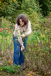 Autumn pruning a rose bush - reducing growth by a third
