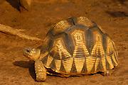 Ploughshare tortoise (Geochelone yniphora) Endangered, endemic, Ankarafantsika Special Reserve, Madagascar