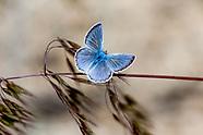 Icaricia icarioides evius - Boisduval's Blue