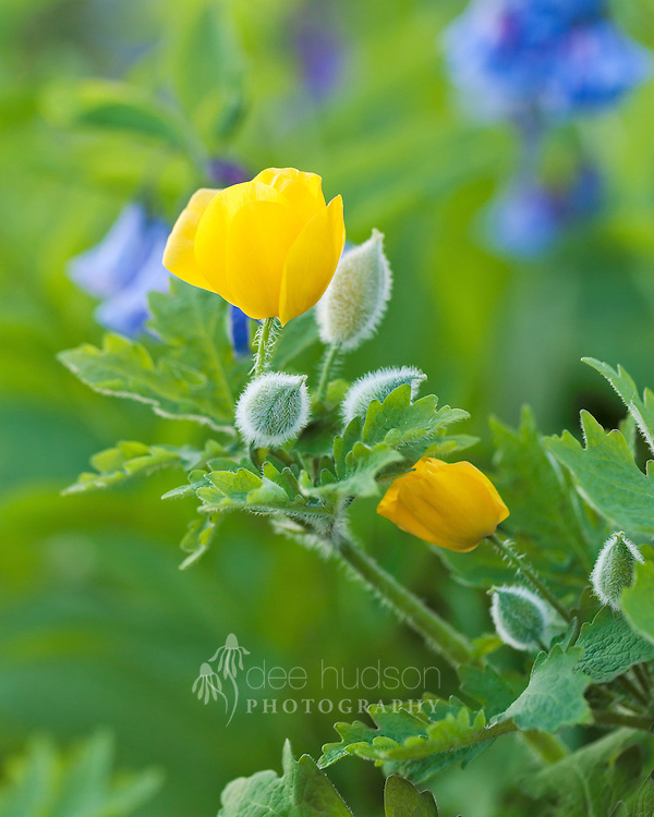 Soft light touches this celandine poppy amidst the Virginia bluebells. The bristly blue-green seed pods simply glow in the late afternoon light.<br /> <br /> Celandine poppy (Stylophorum diphyllum)
