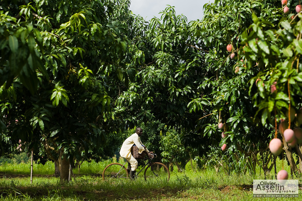 A man rides a bicycle through a mango orchard at Domescho farms in Somanya, Ghana on Wednesday June 17, 2009.