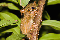 A wide-eyed Dian's tarsier (Tarsius dianae) giving eye contact, Sulawesi,Indonesia
