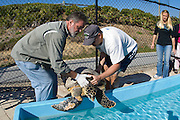 Hawsbill Sea Turtle (Eretmochelys imbricata) being treated at the Loggerhead Marinelife Center for severe injuries to her right front flipper caused by monofilament fishing line.