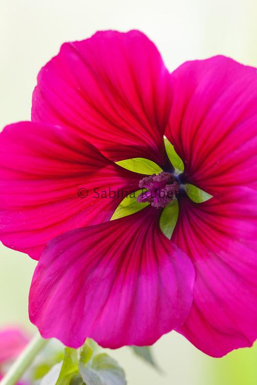 Malope trifida 'Vulcan' - large-flowered mallow wort