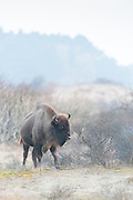 European Bison (Bison bonasus) walking in dune landscape