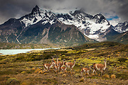 Guanaco (Lama guanicoe) herd with young, Parque Nacional Torres del Paine, Patagonia, Chile.