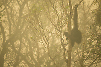 Unflanged male orangutan in a strip of remaining forest along the edge of the Mangkutup River, seen through the smoke of forest fires.  Forest away from the river has burned.<br /> <br /> Bornean Orangutan (Pongo pygmaeus wurmbii<br /> <br /> Central Kalimantan Province, Indonesia<br /> Island of Borneo
