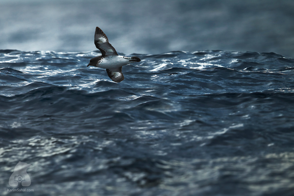 A Cape Petrel (Daption capense) flying close to the water surface, Kaikoura, New Zealand. Cape Petrels - also known as Cape Pigeons - breed on sub-Antactic islands, on those surrounding around the coast of Antarctica and can live for up to 20 years. Cape Petrels are very aggressive towards their own species and others.