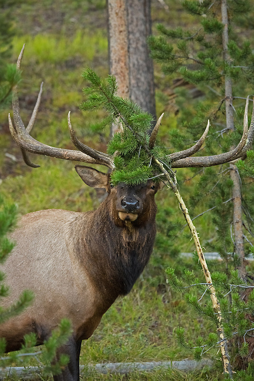 In late August, a massive bull elk rakes his antlers through a small pine ensuring all the velvet has been removed before the onset of the September rut.