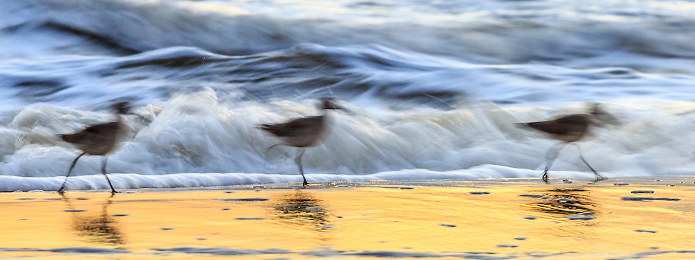Three Willets walking on a Nag's Head beach with the sunrise reflected in the surf.