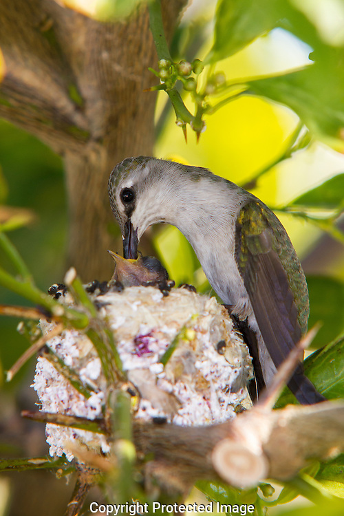 Female hummingbird feeding and caring for her young