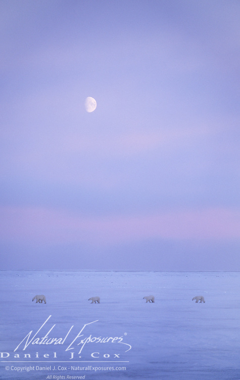 Polar Bear mother with her cubs on tundra. Churchill, Manitoba, Canada