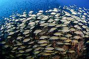 A TOMTATE (Haemulon aurolineatum) schools over a shipwreck offshore North Carolina, United States.