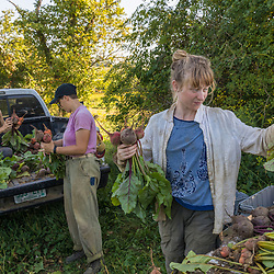 Farm workers sort beets on a farm on Kinney Hill in South Hampton, New Hampshire.