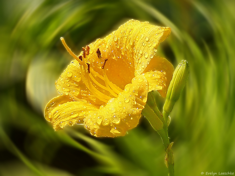 Daylilies (Stella D'oro) belong to the Xanthorrhoeaceae familiy, and are perennial plants.