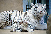 Rare white Tiger Cubs