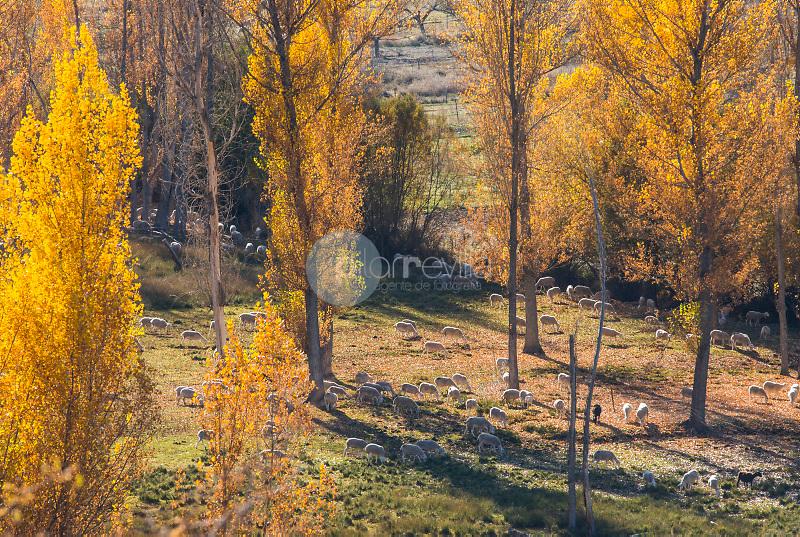 Alamo negro (Populus nigra). Nacimiento del rio Segura.Pontones.Parque Natural de Cazorla, Segura y las Villas.Jaen ©Antonio Real Hurtado / PILAR REVILLA
