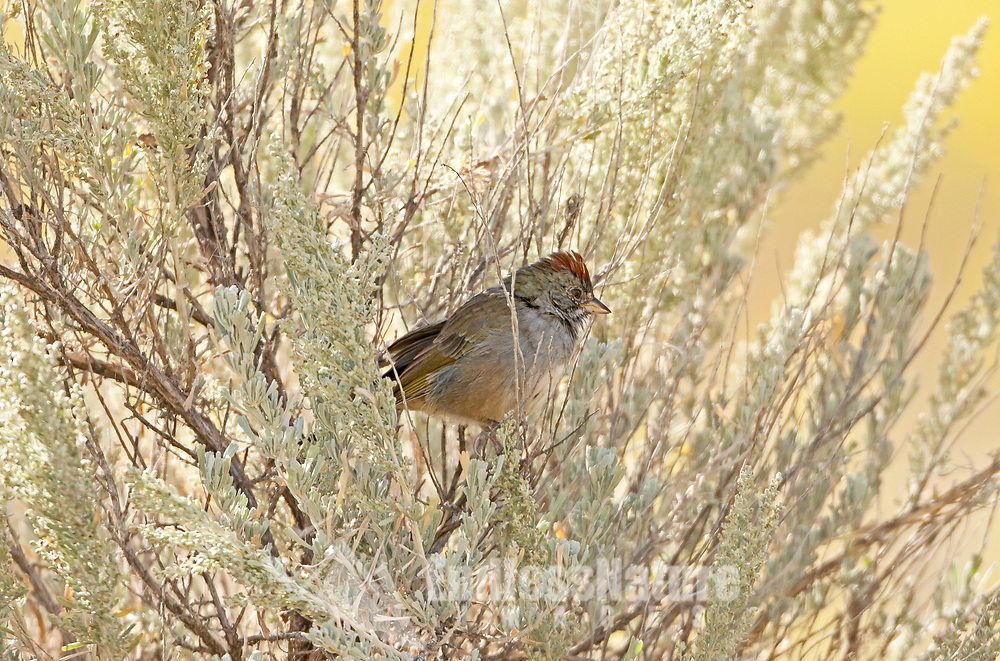 A Green Tailed Towhee in the sagebrush where it feel safe and at home.