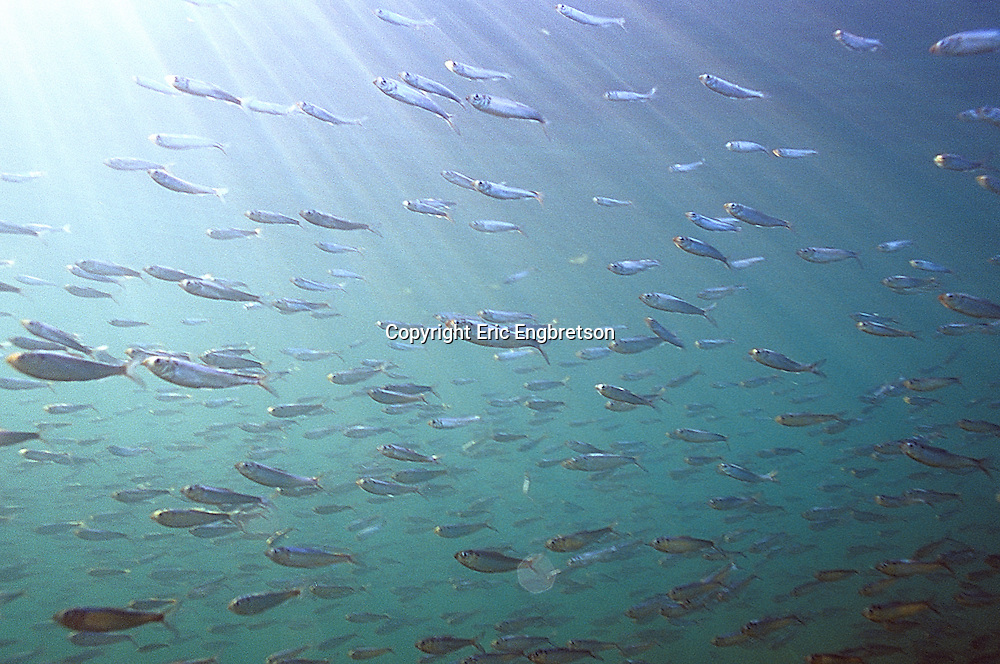 School of Alewife, Lake Michigan<br /> <br /> ENGBRETSON UNDERWATER PHOTO
