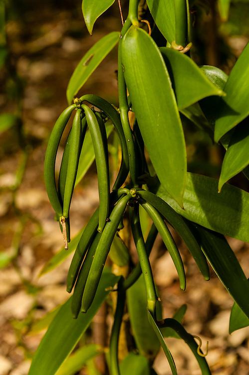 Vanilla plantation, Chez Nath, Kaewatin, island of Mare, Loyalty Islands, New Caledonia