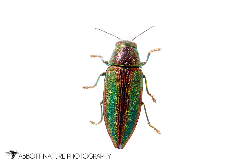 Metallic Wood-Boring Beetle (Buprestis decora)<br /> TEXAS: Jasper Co.<br /> Boykin Springs Recreational Area; Angelina National Forest<br /> Pitcher Plant Bog on gas pipeline easement<br /> 13-Apr-2015<br /> 31.063495 -94.279479 <br /> J.C. Abbott #2723 &amp; K.K. Abbott