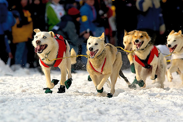 04 March 2006: Anchorage, Alaska -The lead dogs guide their team and blind musher Rachel Scdoris down 4th Avenue during the Ceremonial Start in downtown Anchorage of the 2006 Iditarod Sled Dog Race.