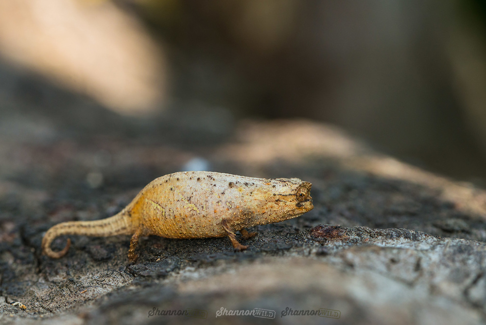Minute Leaf Chameleon (Brookesia minima) is the second-smallest lizard ever described. Endemic to Madagascar