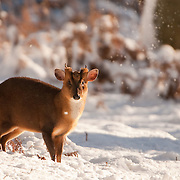 Muntjac, Witney. Oxford Mammal Group.