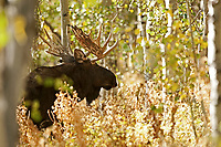 As the rut starts to get underway this Bull Moose follows a cow moose through the thick Aspen trees in the northern Utah Mountains.