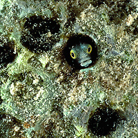 Secretary blenny (Acanthemblemaria maria).  Blennies take up residence in tiny abandoned holes in coral.  Most secretive, they spend most of their time hiding inside or cautiously venturing to the opening of their coral home.  They are tiny usually less than 8 cm. long.  Bonaire