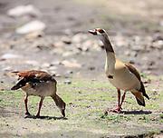 Egyptian Goose, Nilgås, Alopochen Aegyptiacus