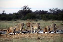 NAMIBIA ETOSHA 30APR14 - A band of male lions drinks at a waterhole near Namutoni, Etosha National Park, Namibia.<br /> <br /> <br /> <br /> jre/Photo by Jiri Rezac<br /> <br /> <br /> <br /> © Jiri Rezac 2014