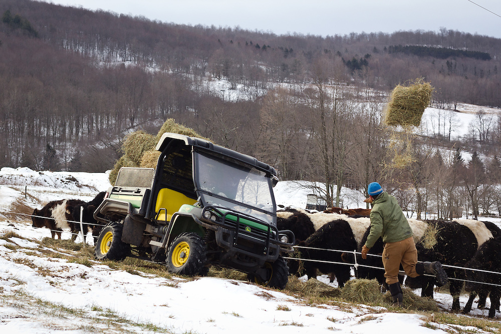 Dan Marsiglio throws bales of hay to the cattle on a frosty morning in January.