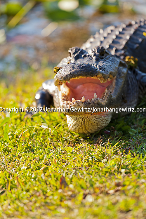 An adult American Alligator (Alligator mississippiensis) rests on grass with its mouth open in the Shark Valley section of Everglades National Park, Florida. WATERMARKS WILL NOT APPEAR ON PRINTS OR LICENSED IMAGES.