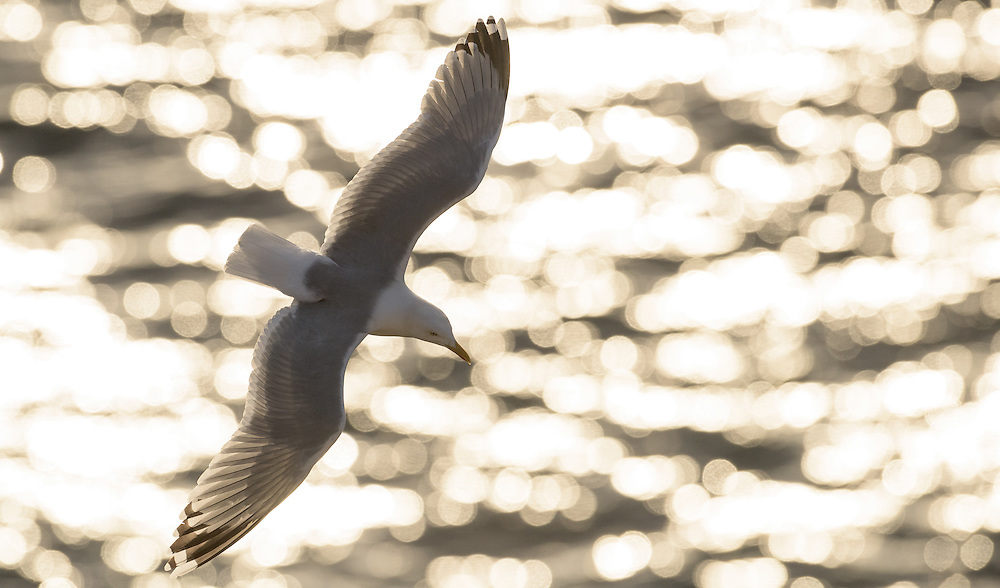 Herring gull against sparkling sea, Scotland