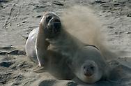 USA, Vereinigte Staaten Von Amerika: Nördlicher See-Elefant (Mirounga angustirostris), See-Elefantenbulle versucht sich mit Weibchen zu paaren, Paarungszeit, Weibchen protestiert und bewirft Bullen mit Sand, Weibchen scheint noch nicht zur Paarung bereit, sie sind nur vier Tage lang im Östrus, Strand direkt neben California State Route 1, San Simeon, Kalifornien | USA, United States Of America: Northern Elephant Seal (Mirounga angustirostris), bull elephant seal trying to mate with cow, mating season, female protesting and throwing sand over male, seems to be not beeing up to mating, just for four days in oestrus, beach directly next to Cabrillo Highway 1, San Simeon, California |