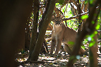 Costa Rican Cougar, (Puma concolor costaricensis), is an endangered subspecies of feline. This Cougar subspecies usually hunts at night and may sometimes travel long distances in search of food. Its average litter size is 3 cubs. The animal has a solid tan-colored coat without spots. This particular subspecies ranks as the second largest cat in Costa Rica and can be found in various places and habitats. Like other cougars, it is amazingly fast, and can maneuver quite easily and skillfully. Image by Andres Morya