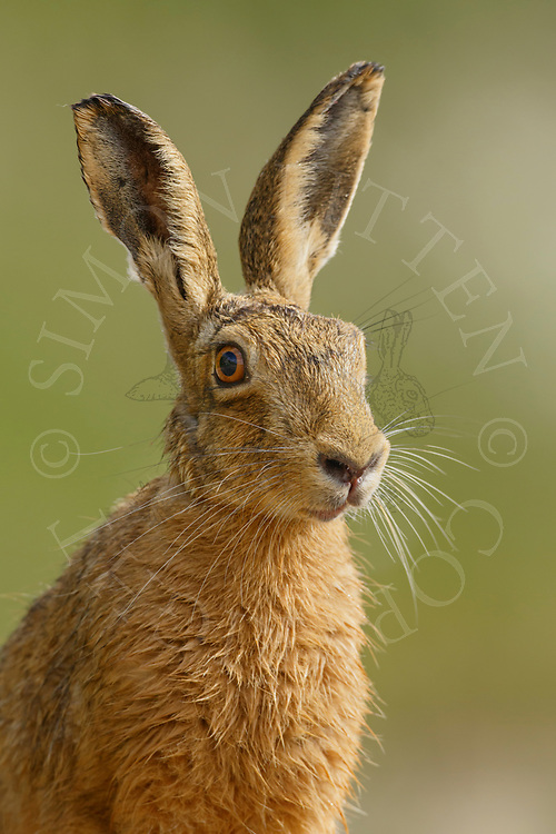 European Hare (Lepus europaeus) adult, close up of head, South Norfolk, UK. June.