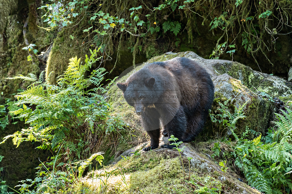 An adult American black bear walks down a rocky outcropping in the temperate rain forest at Anan Creek in the Tongass National Forest, Alaska. Anan Creek is one of the most prolific salmon runs in Alaska and dozens of black and brown bears gather yearly to feast on the spawning salmon.
