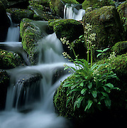 A Brook Lettuce in its idyllic home in the Great Smoky Mountains National Park, Tennessee, USA