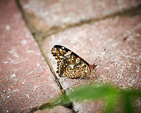 Painted Lady Butterfly. Image taken with a Nikon D850 camera and 300 mm f/2.8 VR lens