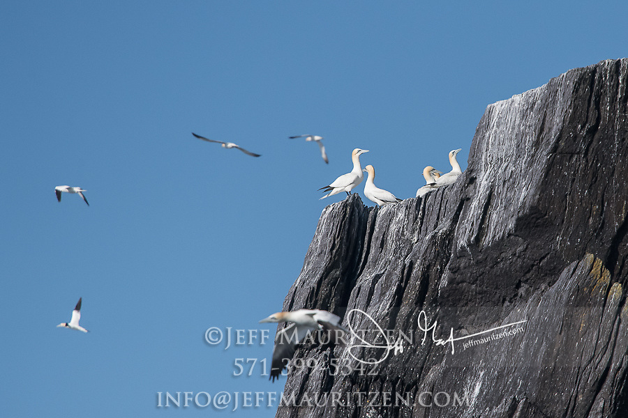 Northern gannets rest in a large seabird colony on the rocky island of Little Skellig, Ireland.