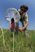 Eric Frielinghaus aus dem BIO LK von Schulklasse von Friedrich Körner (Experte für Hummeln und Schmarotzerhummeln) fängt zur Bestimmung ein Beilfleck-Rotwidderchen  oder Beifleck-Blutströpfchen  (Zygaena loti) | The Slender Burnet (Zygaena loti), a European moth on a field in Crawinkel