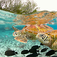 &quot;Sea Turtles&quot; - The green sea turtle, so named from the often green fat found beneath their carapace, is the only species in the genus Chelonia and is listed as endangered by the IUCN and CITES. Its range extends throughout tropical and subtropical seas worldwide including here in Bora Bora, French Polynesia. <br />