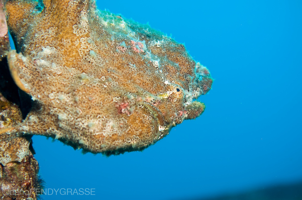 Commerson's frogfish, (Antennarius commerson)