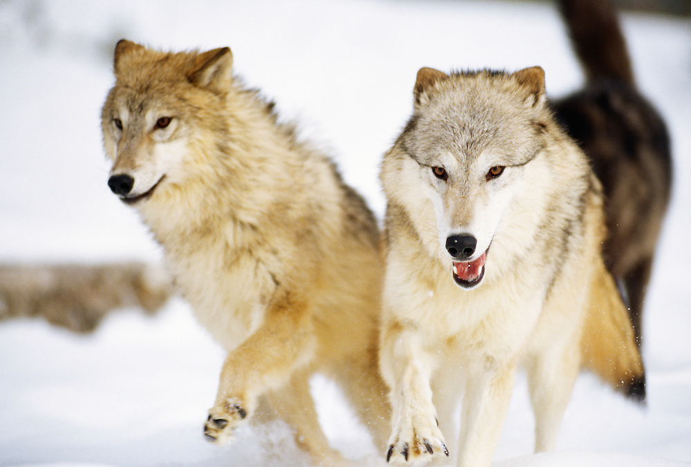 Gray Wolves walking in snow