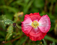 Red and pink poppy flower after the rain. Backyard summer nature in New Jersey. Image taken with a Leica T camera and 55-135 mm lens (ISO 100, 135 mm, f/5.6, 1/60 sec).